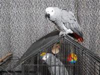 Slatko govori i oponaša afričke sive papige za pro
