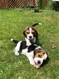 Prekrasan pedigree Beagle Pups Pra Clear