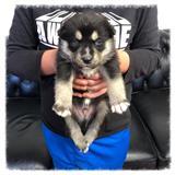 Beautiful Pomsky Pups