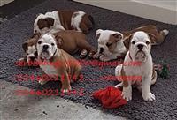 Francuski buldog psi i štenci za prodaju u Velikoj