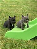 Cuccioli di Bulldog Francese di qualità