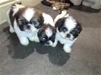 Prekrasni Shih Tzu Pups