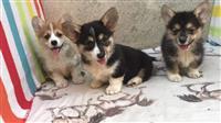 Velški korgi štenci na prodaju