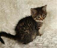 Lijepa maine Coon mačkica kontaktirajte me putem (