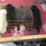 Shar Pei štenci za prodaju