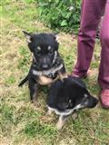 Nemački ovčarski štenci