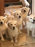 Ovi divni germandski štenci traže novi dom za sve!