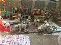 Prodaju se lijepi zdravi štenci