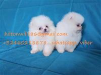 Pure White Tea Cup Pomeranian Za prodaju