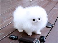 Apsolutno zdrav teakup pomeranski štene spreman