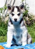 Siberian Huski Puppies sada dostupni