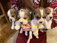 Pravilno Beagle Pups za rehoming
