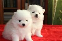 Lijepi Pomeranski štenci Dostupni.