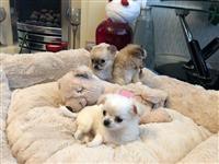 Lijepi štenci Kc Chihuahua