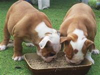 Anglisht Bulldog Puppies
