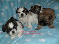 Roditeljstvo Shih Tzu štenci dječaci i djevojčice