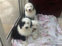 Kc Registrirani starački ovčarski štenci