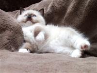 Registrirani Ragdolls mačić na prodaju