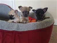 Lijepa štenada Chihuahua