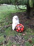 beutifull pomeranian puppy spreman za novi dom