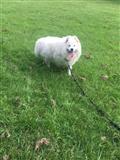 6 Lijepi zdravi štenci Samojeda