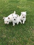 Mužjaci i ženke West Highland White Terrier štenad