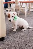 Jack Russell štene