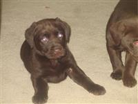 KC je registrirao čokoladne labradore.
