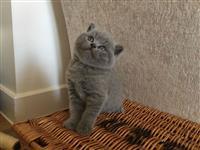 Škotski fold mačići