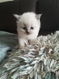 divno leglo ragdoll mačića