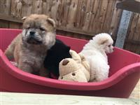 Chow Chows štenci dostupan