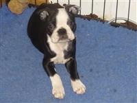 Lovely Boston Terrier Pups kontaktirajte me preko