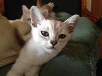 Pedigree Asian Kittens za prodaju