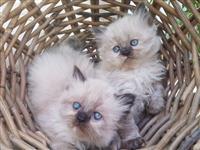 Lijepi perzijski mačići