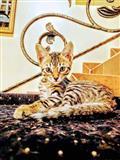 Savana macici, Divinity Savannahs