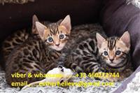 Izvrsni bengalski mačići