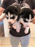 Zapanjujući štenci sibirskog haskija