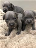 Štenci štenaca Blue Staffordshire Terrier