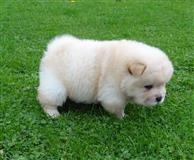 Slatka Chow Chow Puppies