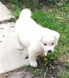 Prekrasni štenci Akita