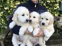 Прекрасни златни златни ретривери кученца