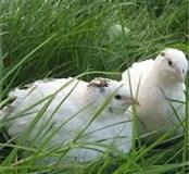 Teksaske bijele gigant prepelice