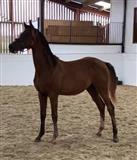 Kali i kuajve i konfirmuar në hedhjen 1 metër