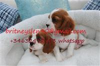 Prekrasni Kavaljer King Charles Puppies