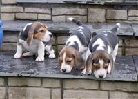 Stunning Beagle štene sada spremne