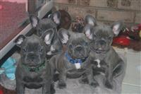 Impresivni štenci francuskog buldoga