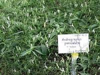 Andrographis - (Andrographis paniculata)