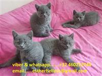 Kittens britanik të shkurtra