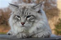 Sibirski macici Neva Masquerade EKSKLUZIVNO!