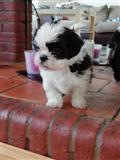 Shih Tzu Puppies në dispozicion tani